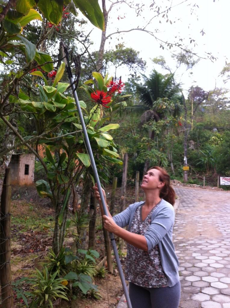 Andando numa rua de Ilhabela, Gisela encontra um pé de Mulungú do Litoral carregado de sementes; com um podão ela colhe as sementes, que são levadas para o viveiro e plantadas no canteiro de germinação