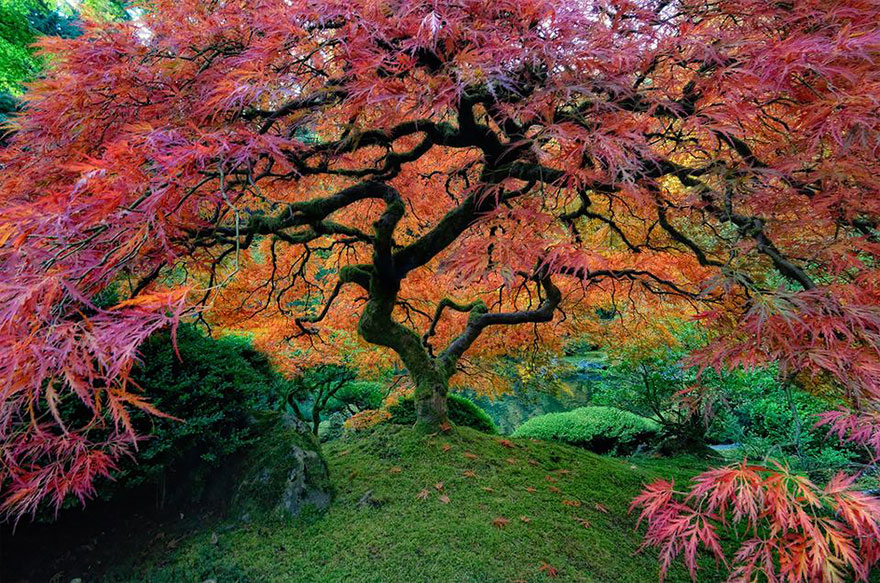 VF Japanese Maple