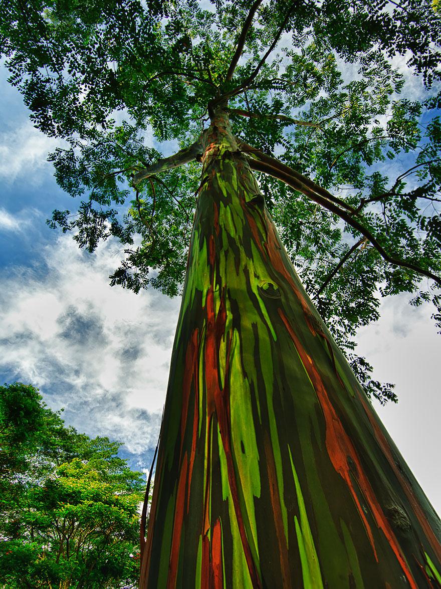VF Raibow Eucapyptus