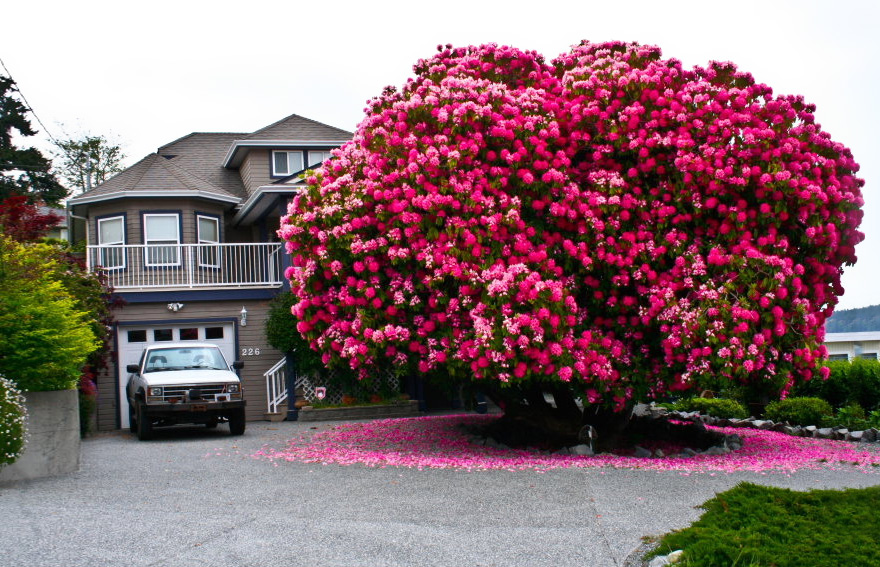 VF Rhododendron